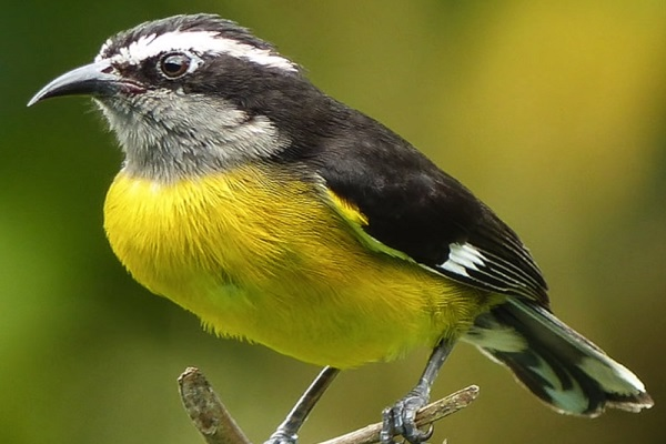 The Bananaquit