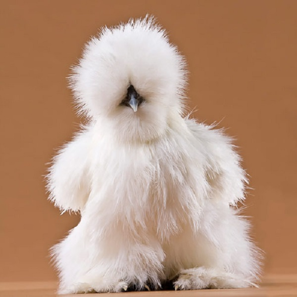 White Silkie Bantam Chicken