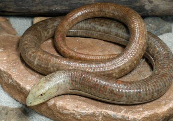 European Glass Lizard - Scientific Name: Pseudopus Apodus