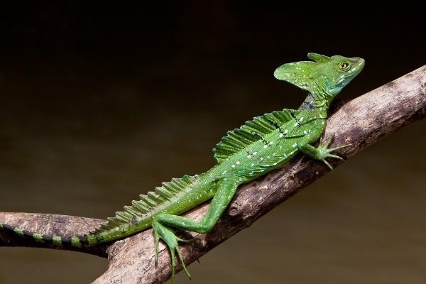 Jesus Christ Lizard - Scientific Name: Basiliscus Basiliscus