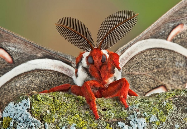 The Cecropia Moth - Hyalophora Cecropia