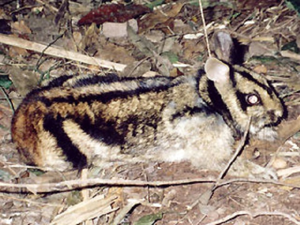 Sumatran Striped Rabbit (Nesolagus netscheri)