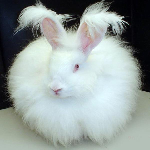 Angora Rabbits (Angora rabbit)