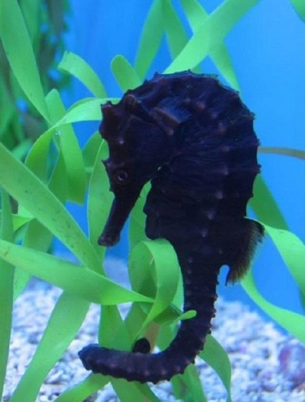 Japanese Seahorse (Hippocampus mohnikei)