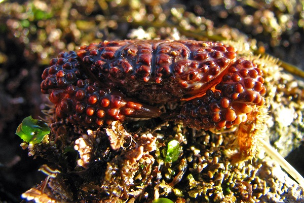 Pebble Crab