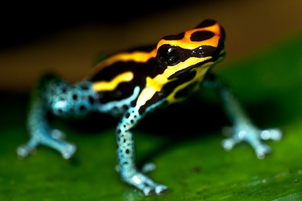 The Touch of Death - Poison Dart Frog