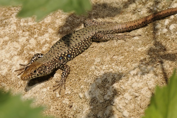 Acid Spitting - The Greek Rock Lizard