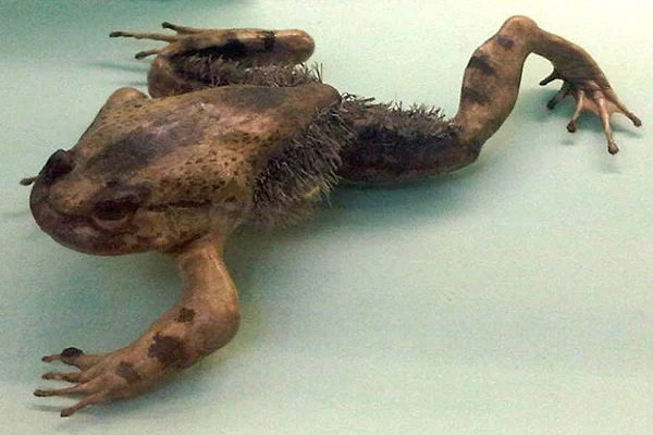 Hidden Attack Claws - The Horror Frog