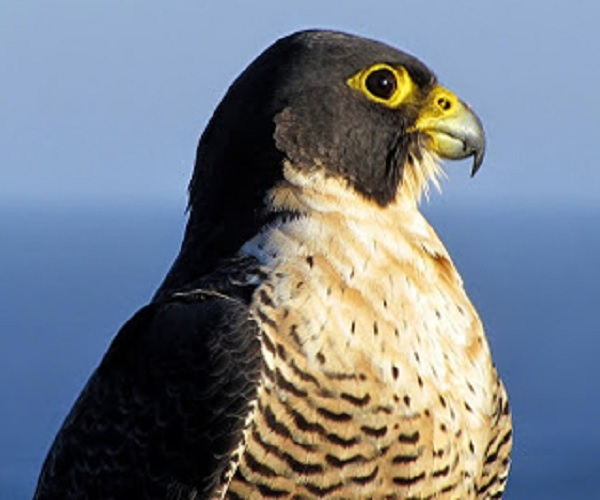 Super Speed - Peregrine Falcon