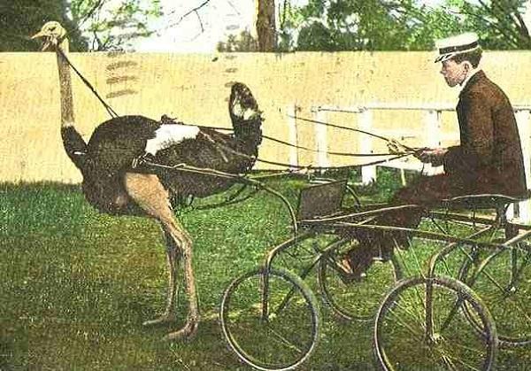 Ostrich Pulling a Cart