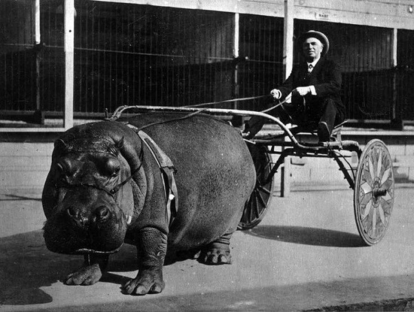 Hippo Pulling a Cart