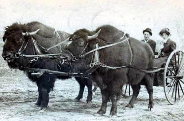 Buffalos Pulling a Cart