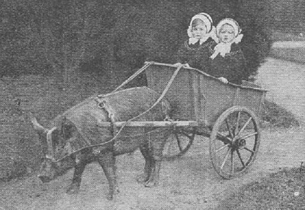 Pig Pulling a Cart