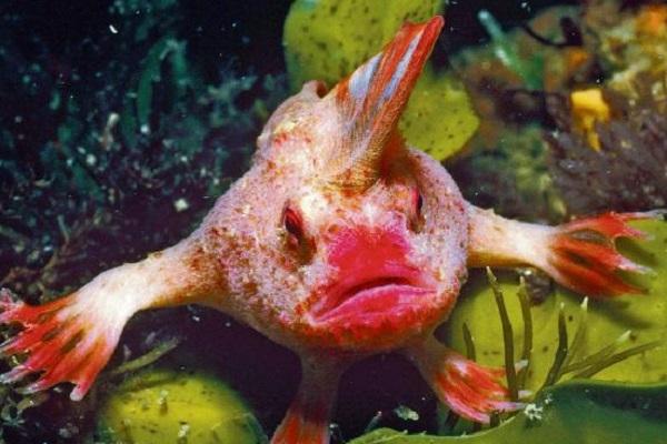 Red Handfish (Brachionichthys hirsutus)