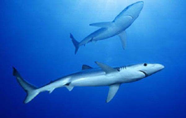 Pondicherry shark (Carcharhinus hemiodon)