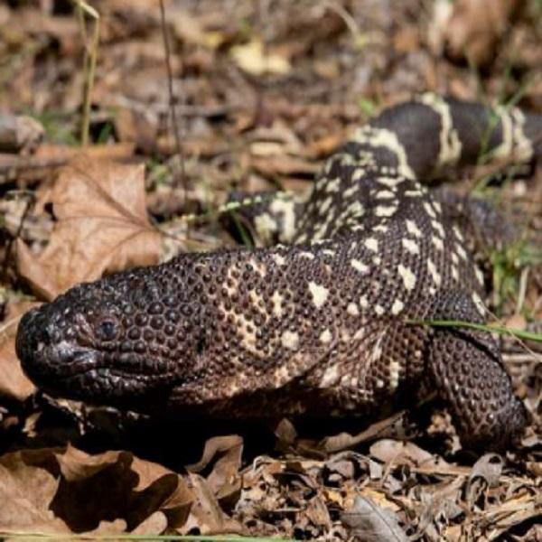 The Guatemalan Beaded Lizard (Heloderma horridum charlesbogerti)