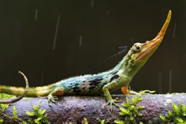 Pinocchio Lizard (Anolis proboscis)