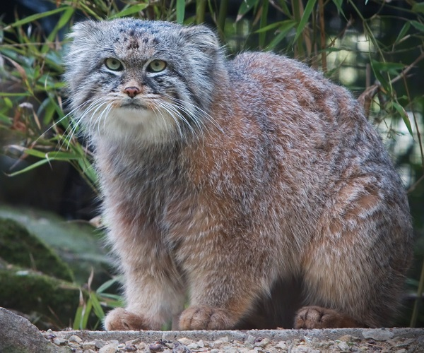 The Pallas Cat