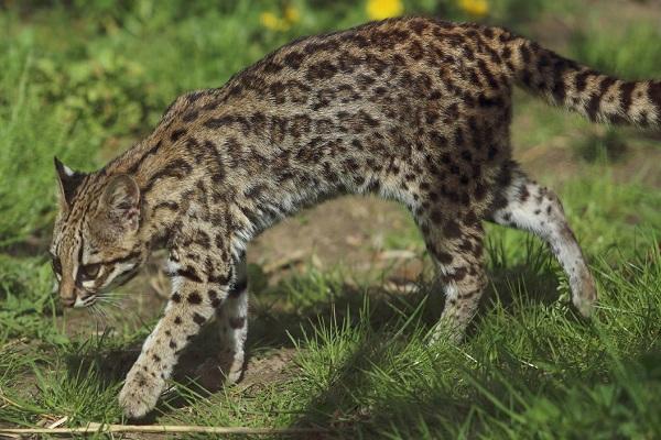 The Oncilla Cat