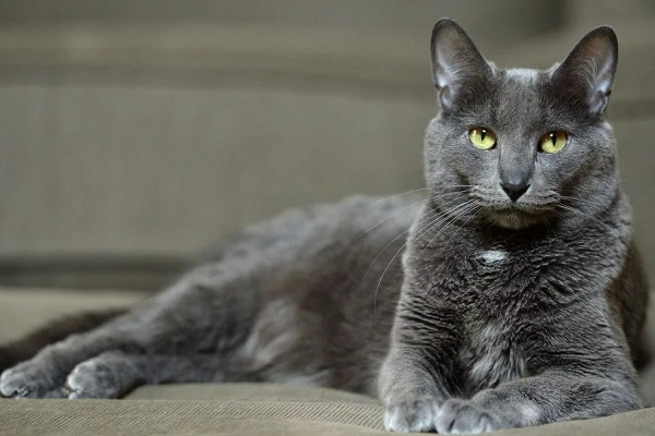The Korat Cat