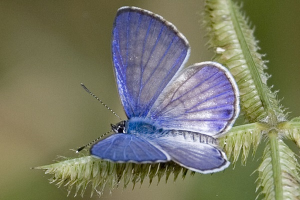 The Miami Blue Butterfly