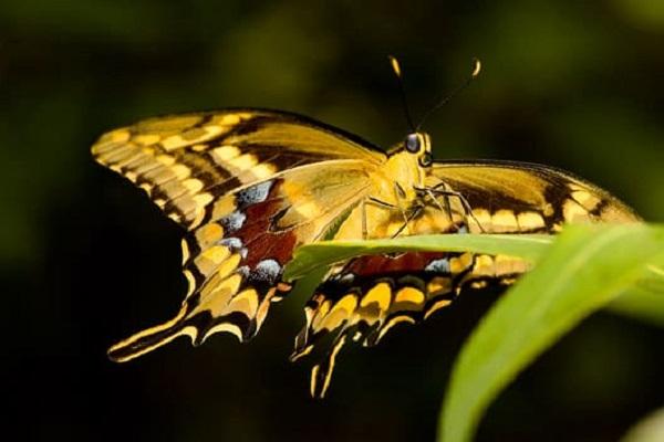 The Schaus Swallowtail Butterfly