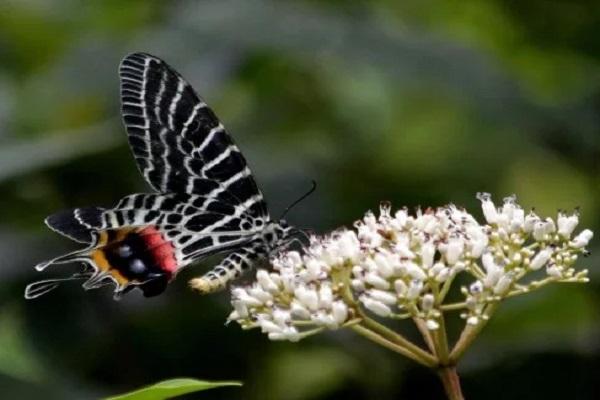 The Bhutan Glory Butterfly