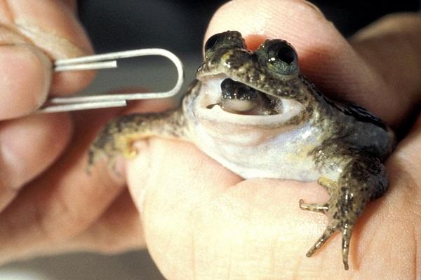 Gastric-brooding Frog (Rheobatrachus)