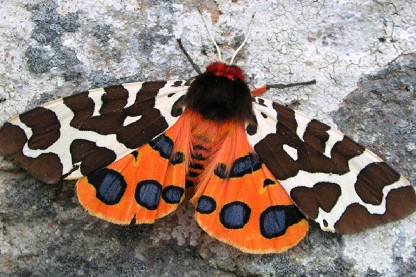 The Garden Tiger Moth (Scientific Name: Arctia caja)