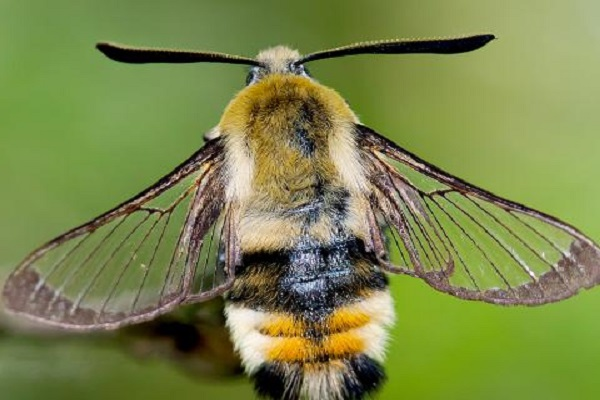 The Narrow-bordered Bee Hawk-moth (Scientific name: Hemaris tityus)