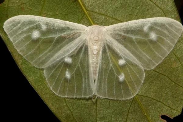 The Lymantrine Moth (Lymantriinae)