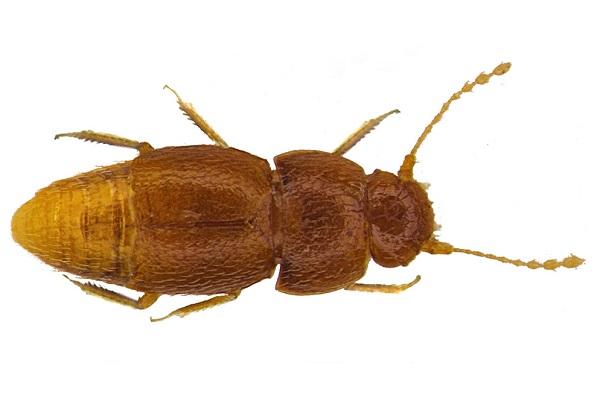 The Greta Thunberg Beetle (Nelloptodes gretae)