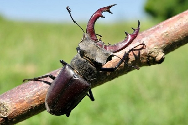 The Stag Beetle (Lamprima aurata)