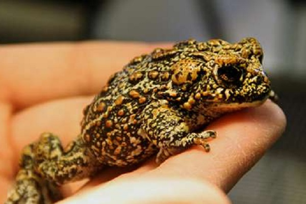 The Dixie Valley Toad (Anaxyrus williamsi)