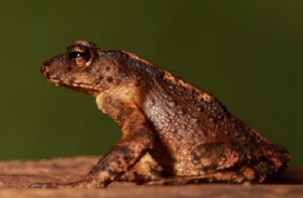 The Kandyan Dwarf Toad (Adenomus kandianus)