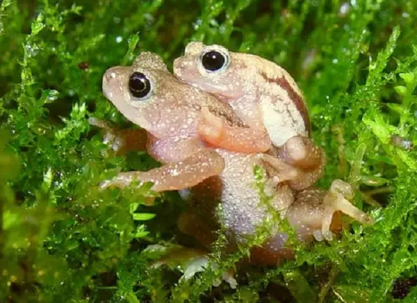The Kihansi Spray Toad (Nectophrynoides Asperginis)