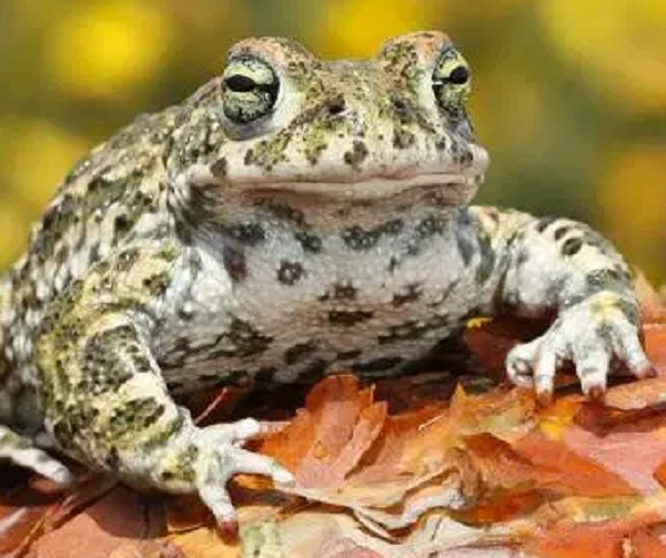 The Natterjack Toad (Epidalea clamita)