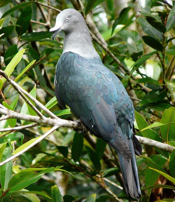 The Marquesan Imperial Pigeon (Ducula galeata)