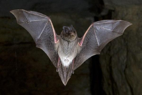The Western Barbastelle Bat (Barbastella Barbastellus)