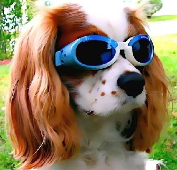 Cavalier King Charles Spaniel - Human-Friendly Dog Breed