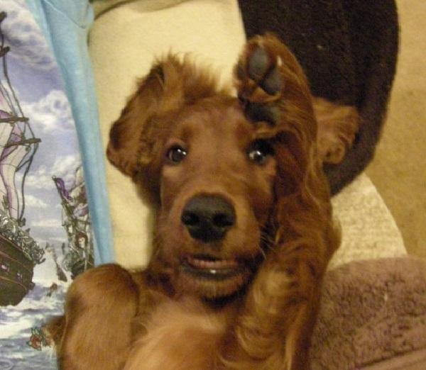 Irish Setter - Human-Friendly Dog Breed