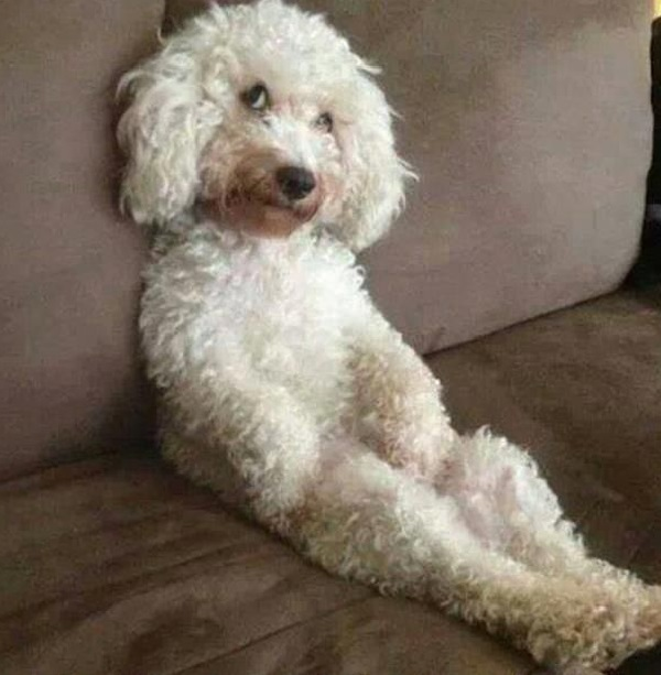 Poodle - Human-Friendly Dog Breed