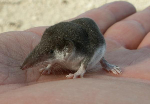 The Inquisitive Shrew Mole (Uropsilus andersoni)