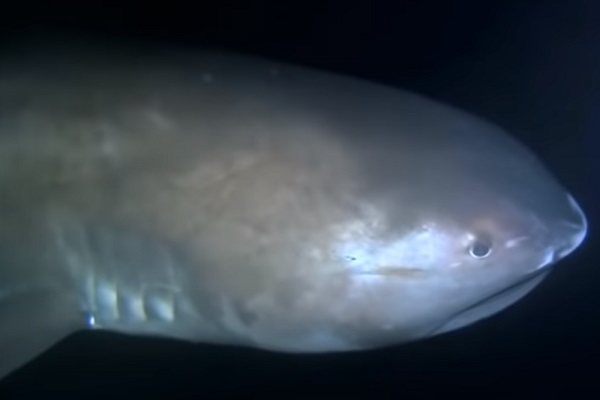 The Megamouth Shark - Scientific name: Megachasma pelagios