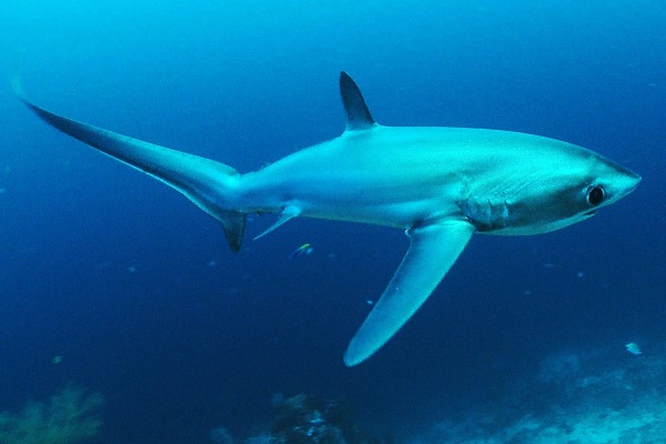 The Big-eye Thresher Shark - Scientific name: Alopias superciliosus