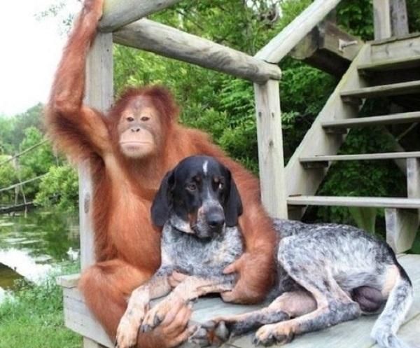 Orangutan - Dog Friendship
