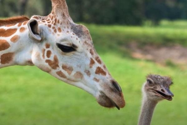 Ostrich – Giraffe Friendship