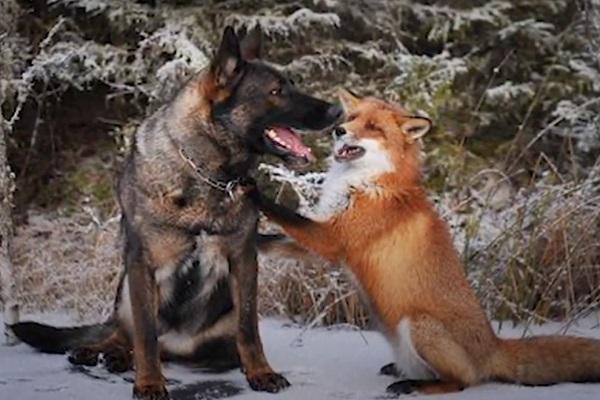 Dog – Fox Friendship