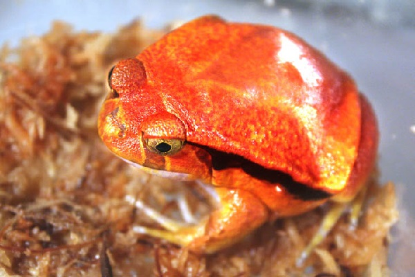 The Tomato Frog (Scientific name: Dyscophus)