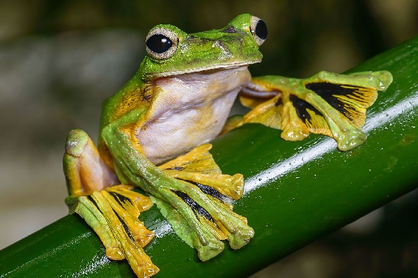 The Flying Frog (Scientific name: Rhacophorus nigropalmatus)